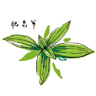 來自大自然的天然清潔植物╴肥皂草